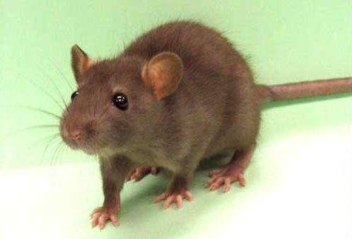 Une étude a permis de caractériser chez le rat un marqueur biologique fiable permettant de détecter la vulnérabilité à la dépression. © Komrod