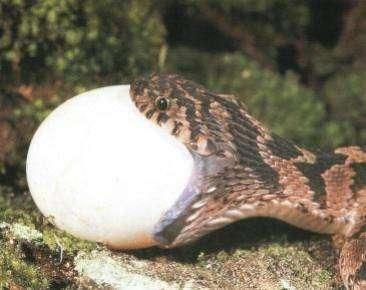 Le Serent africain mangeur d'œuf (Dasypeltis scabra), un serpent exclusivement oophage. © DR
