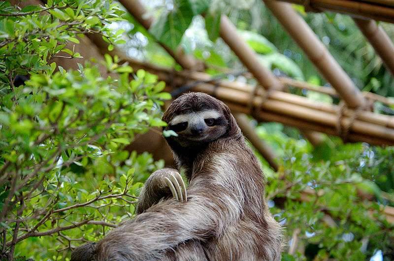 C'est la lenteur des déplacements de l'animal qui lui a valu le nom vernaculaire de « paresseux ». © Sergiodelgado, Wikipédia, GNU 1.2