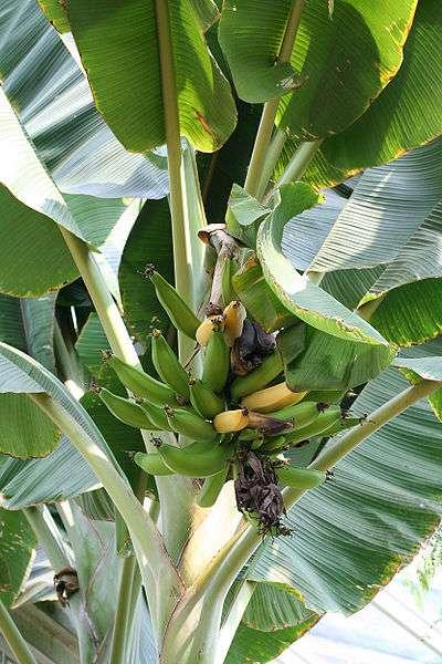 Les bananes étant climactériques, la présence de fruits mûrs au sein du régime accélère le mûrissement des autres fruits. © Jean-Pol GRANDMONT, Wikimédia CC by-sa 2.5