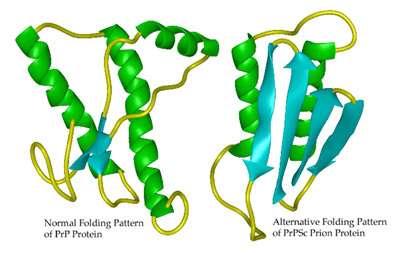 Changement de conformation de la protéine Prp (prion). La forme de gauche est la forme non pathogène, la forme de droite est la forme pathogène. (crédit : Whitehead Institute The Massachusetts Institute of Technology)