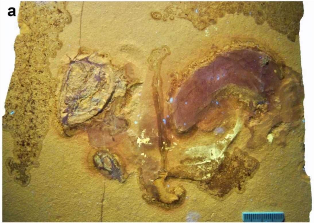 Cette photo, prise sous lumière UV, montre les parties molles et fossilisées de l'ammonite. © Klug et al., Swiss Journal of Paleontology