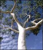 Un eucalyptus