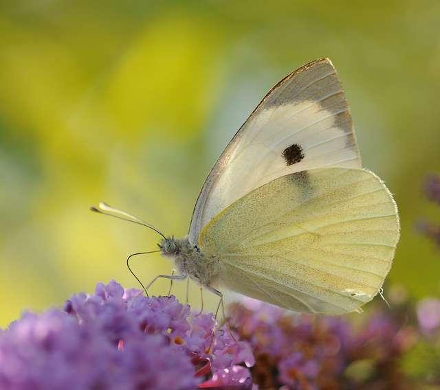 La piéride du chou est un papillon expert pour concentrer l'énergie solaire sur son thorax. © Thomas Bresson, flickr, CC by 2.0
