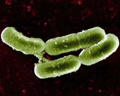 Lactobacillus sakei en culture © INRA/A. Marceau