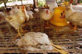 Un poulet mort de cause inconnue dans une ferme indonésienne, le 17 mars 2005Crédits : REUTERS/AHMAD/INDONESIA