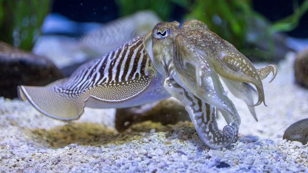 Les seiches communes peuvent atteindre une longueur de 20 à 30 cm (tentacules incluses). Elles vivent notamment sur des fonds sableux ou dans des herbiers. © ZombyLuvr, Flickr, cc by nc sa 2.0