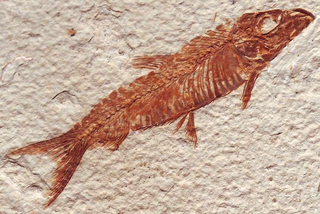 Ce poisson osseux a vécu durant l'Éocène, voici environ 50 millions d'années. Il a subi une fossilisation après sa mort, ce qui explique qu'il nous soit parvenu. © Aldoaldoz, Flickr, cc by nc sa 2.0