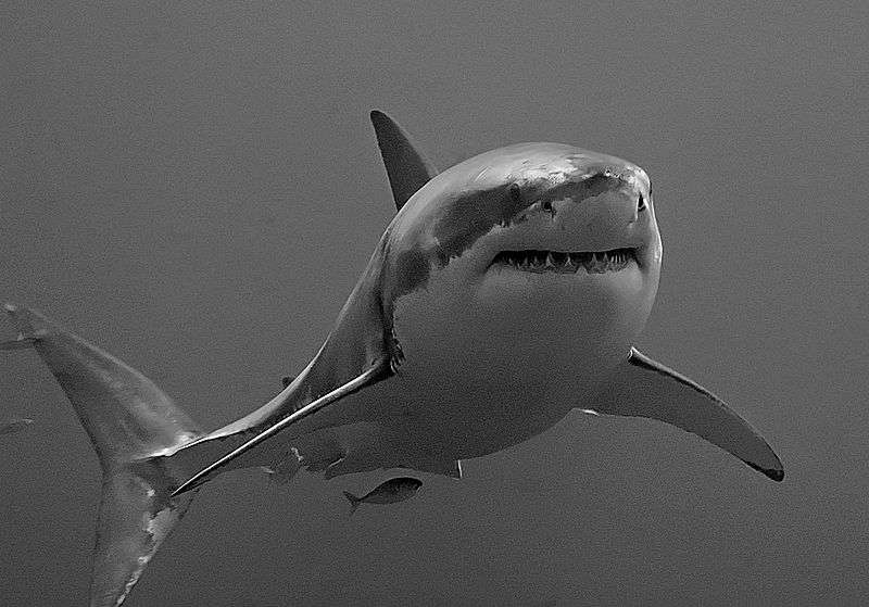 Photo d'un grand requin blanc. © Terry Goss, GNU FDL Version 1.2