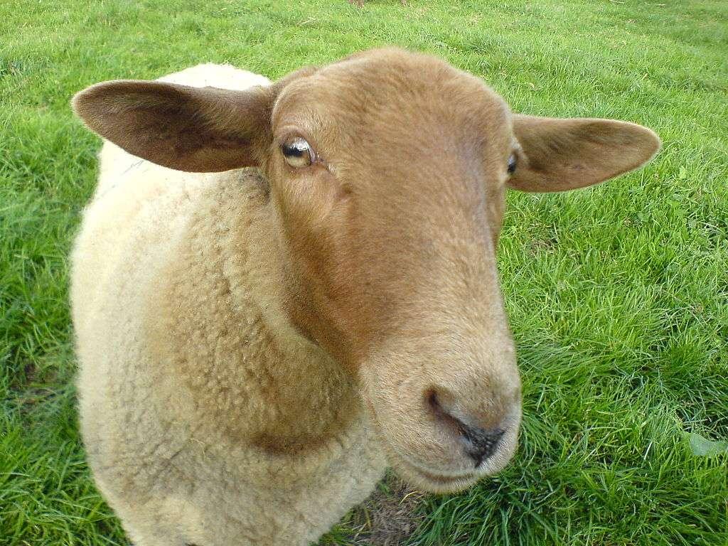 Dans le cadre d'un programme scientifique de 18 mois mené par l'université de Lancaster dans le comté de Conwy (nord du pays de Galles), des moutons vont être équipés de colliers Wi-Fi. Si leur vocation première est de pouvoir suivre les déplacements des troupeaux, ils pourraient aussi servir de points d'accès pour établir des connexions internet dans des zones rurales mal ou pas desservies. © Pierre-Alexandre Dutot, CC-BY-SA-3.0