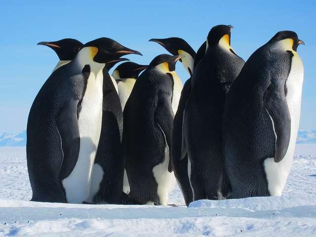 Les manchots empereurs (Aptenodytes forsteri) subissent indirectement les effets du réchauffement climatique par la réduction des surfaces de glace entourant leur continent. Bien d'autres espèces seraient affectées d'une manière ou d'une autre. © Sandwichgirl, Flickr, CC by-nc-nd 2.0