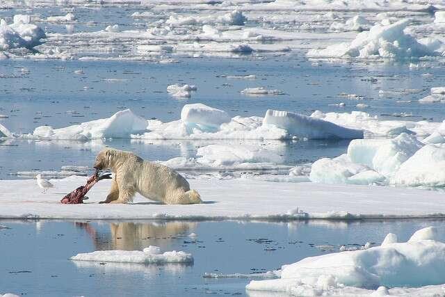 Un phoque du Groenland dévoré par un ours polaire, sur la banquise. © LindsayRs, Flickr, cc by nc nd 2.0