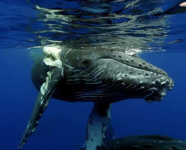 Ce baleineau a été percuté par un bateau et sa nageoire caudale droite est abîmée. © E. Lyman, NOAA Humpback Whale Sanctuary