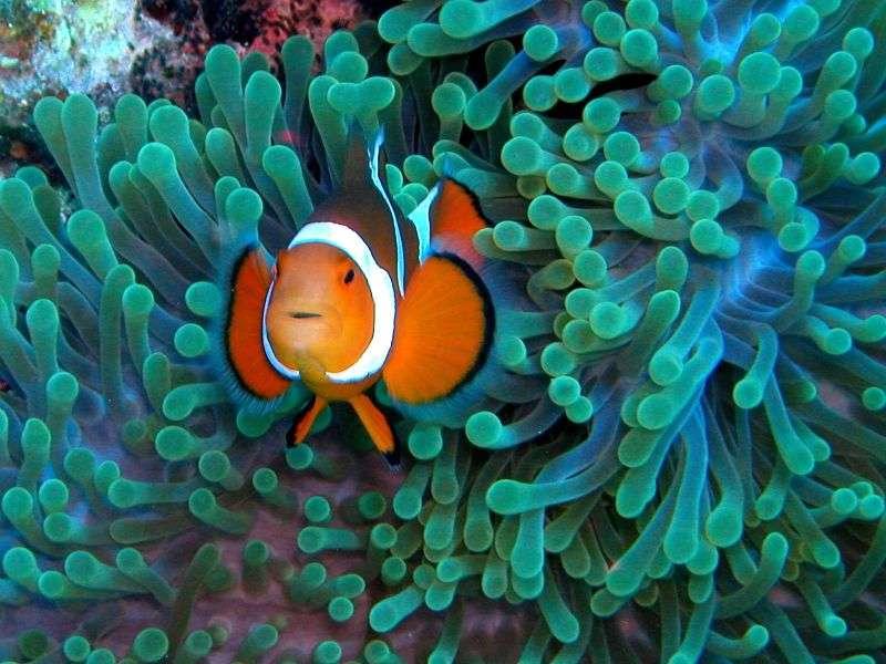 Les coraux sont un refuge pour de nombreuses espèces de poissons, comme ici le poisson clown. En Chine, 80 % du récif corallien a disparu en conséquence de la pollution anthropique. Les maladies coralliennes sont en partie dues à l'Homme. Le projet Corail Disease, coordonné par l'IRD vise à protéger le lagon calédonien. © Nemos Great Uncle