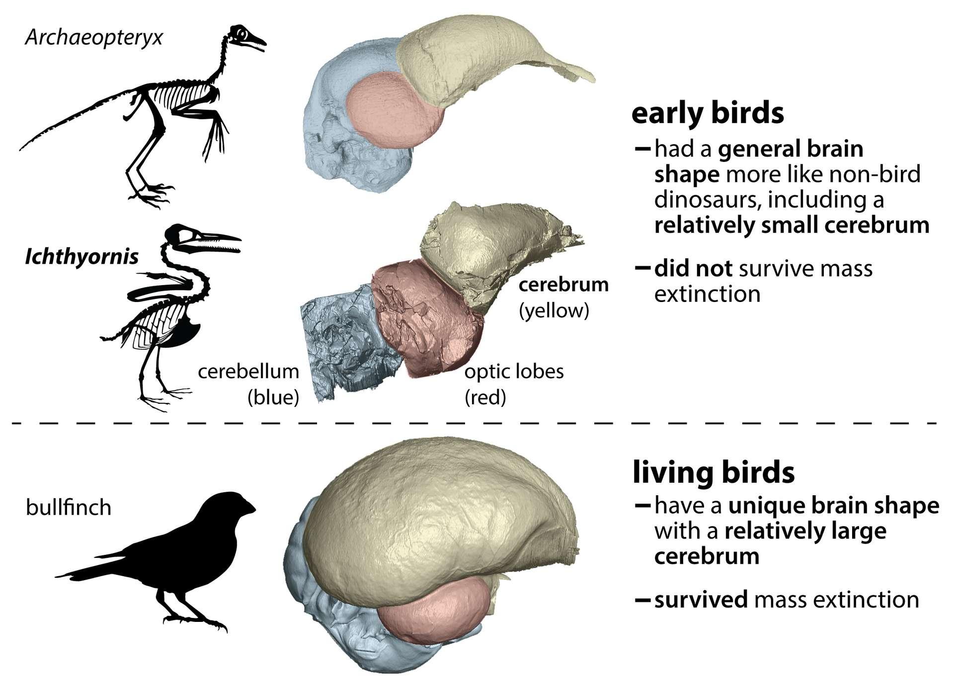 Les ancêtres des oiseaux vivants auraient eu une forme de cerveau très différente de celle des autres dinosaures. © Christopher Torres, Université du Texas, Austin, États-Unis