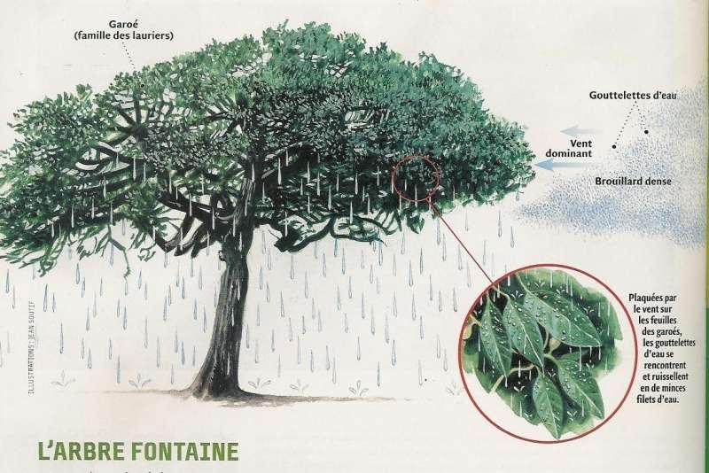 Un arbre pour récupérer l'eau de pluie, une astuce connue depuis des siècles aux Canaries. © A. Gioda pour Pierre Lefèvre et Science & Vie Junior, mai 2003