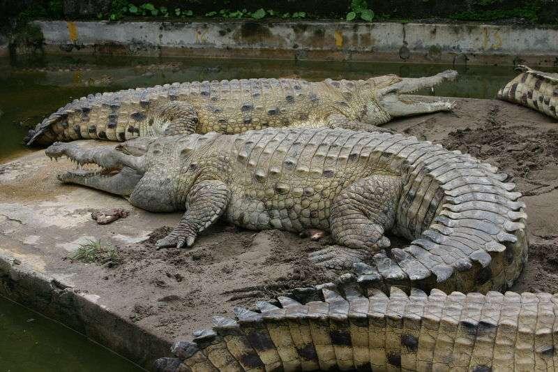 Photo d'un crocodile de l'Orénoque. © Mauriciogq, GNU Free Documentation License version 1.2