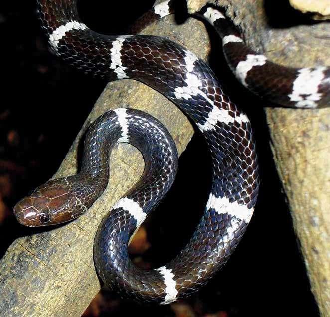 Lycodon synaptor, un serpent découvert dans la région du Mékong, comme 207 autres espèces en 2010. © Vampire