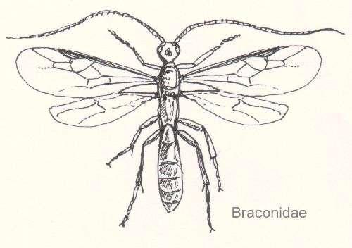 Un exemple de braconide. Source Commons