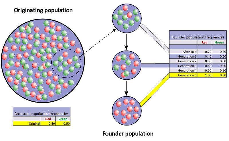 Exemple de dérive génétique entre deux allèles (rouge et vert) suite à la fondation d'une nouvelle population. © Professor Marginalia, Wikimedia CC by-sa 3.0