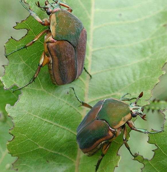 Ces gentils petits insectes pourraient-ils devenir des espions ? Stephen Friedt, Wikipédia, cc by sa 3.0