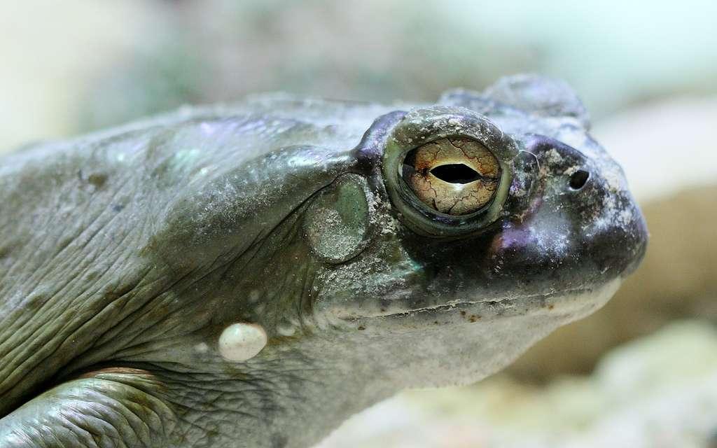Photographie du crapaud de l'espèce Bufo alvarius, qui fabrique de la bufoténine dans sa glande parotide. © mcamcamca, Flickr, cc by sa 2.0