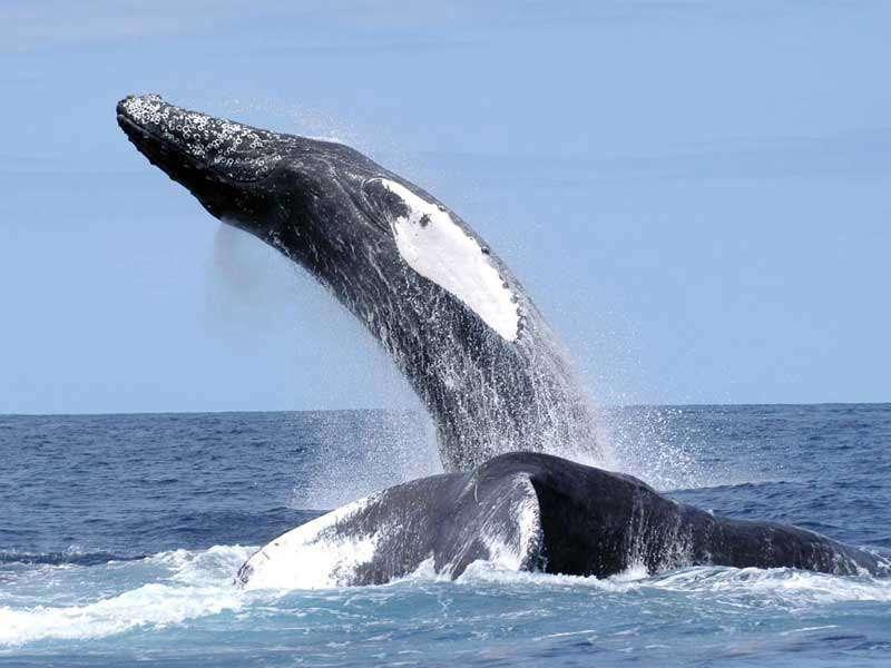 Les baleines à bosse sont connues pour leur chant. Les mâles chantent principalement durant la saison de reproduction, lorsqu'ils ont rejoint les eaux équatoriales chaudes. © NEFSC, NOAA