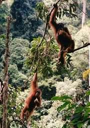 Regardez bien ces orangs-outangs (on peut écrire orangs-outans). Celui de gauche marche ! Cette bipédie arboricole pourrait avoir aidé nos ancêtres… Crédit : S. K. S. Thorpe
