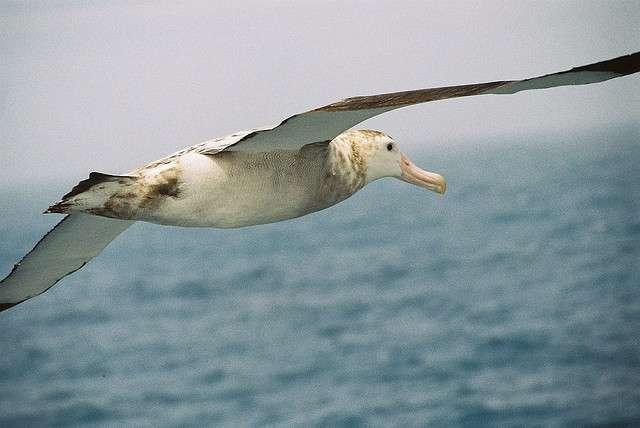 Le grand albatros a la plus grande envergure parmi tous les oiseaux, avec une moyenne de 3,10 mètres. © Time Ellis, Flickr, cc by nc 2.0