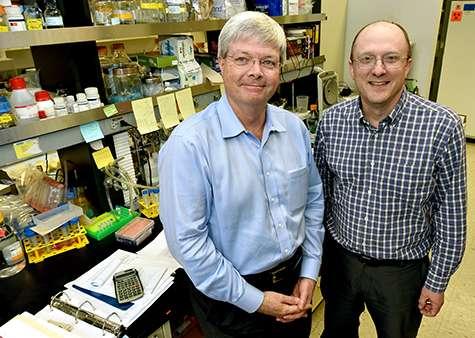 En étudiant les souris, Herbert Virgin (à gauche) et Thad Stappenbeck ont montré que les mères peuvent transmettre un caractère à leur portée grâce à l'ADN de bactéries. © Robert Boston, Washington University