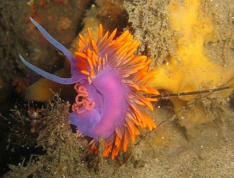 Les espèces de mollusques sont très variées, les coquilles Saint-Jacques, les pieuvres, les seiches ou les flabellinidés comme Flabellina iodinea (ici en photo) sont tous des mollusques marins. © Magnus Kjærgaard, Wikipédia, cc by sa 2.5