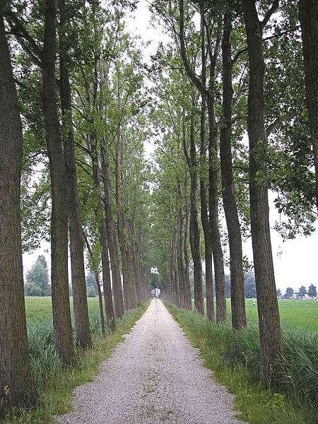 Le peuplier est particulièrement intéressant pour l'industrie, car les arbres grandissent rapidement et produisent donc de grandes quantités de lignine. © Pudding4brains, Wikimedia Commons, DP