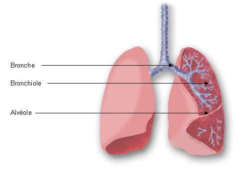 Les bronches se subdivisent en bronchioles et terminent en alvéoles pulmonaires. © GSK
