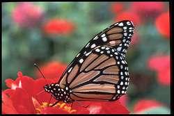 « Le cap et la montre » résument les aviateurs pour expliquer le secret de la navigation aérienne. Il se pourrait que le papillon Monarque utilise une formule du même genre... © Musée canadien de la nature/Allan G. Austin