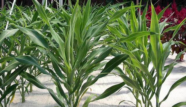 Culture hydroponique de maïs. © Scott Miller CC by-nc-sa 2.0