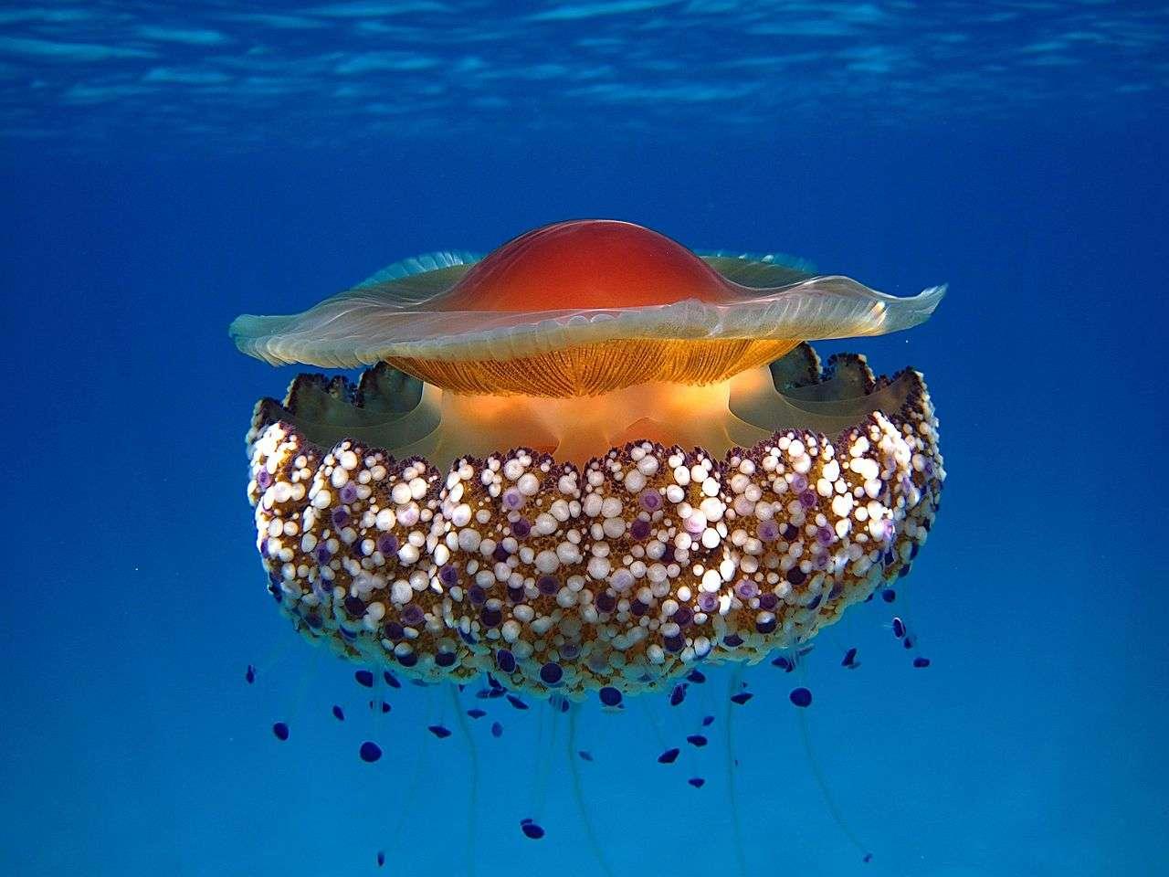 Une méduse œuf au plat photographiée en Sardaigne. © Fredski2013, Wikimedia, CC by-sa 3.0