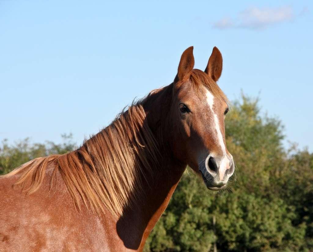 L'hippologie permet d'en découvrir toujours plus sur les chevaux. © IDS.Photos, Flickr, cc by sa 2.0