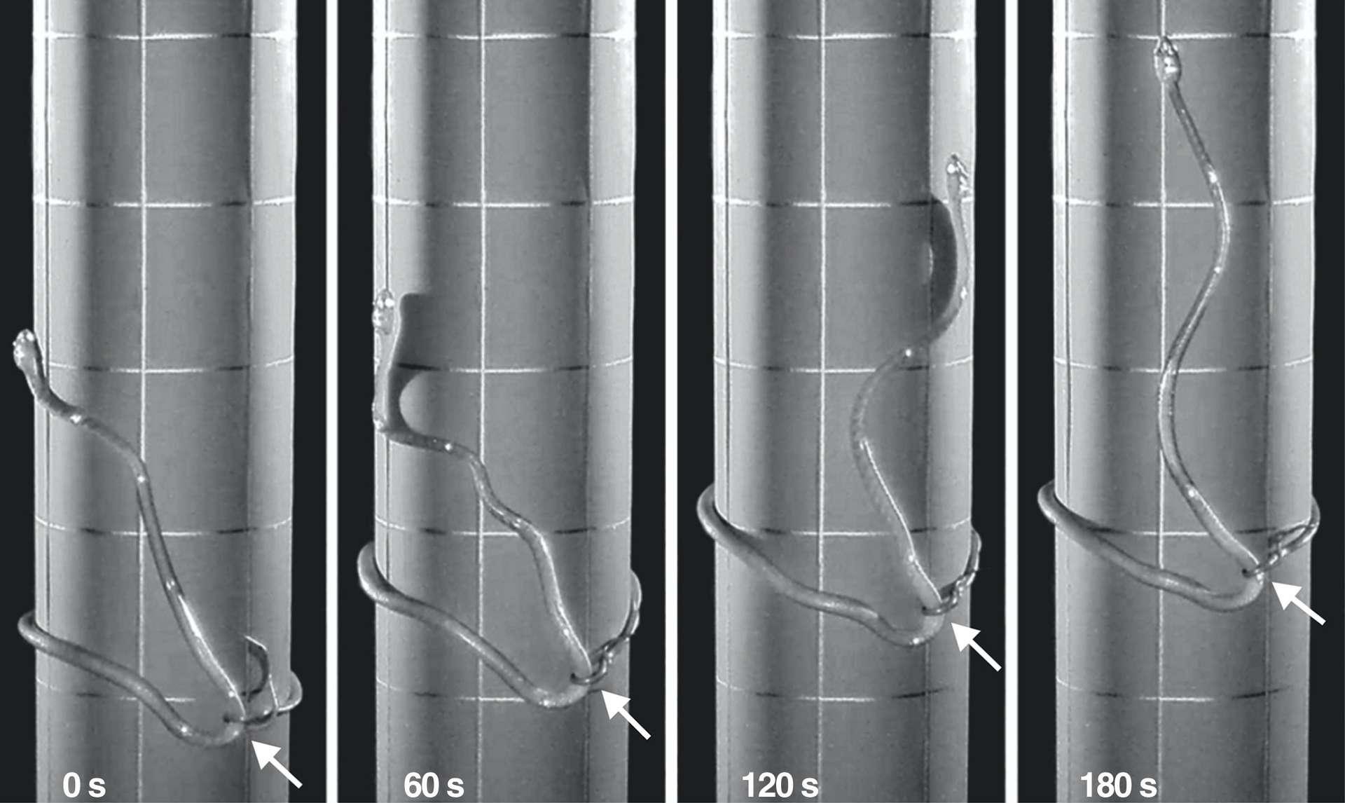 Avec la technique du lasso, le serpent est capable d'escalader des troncs et des poteaux lisses ou très larges. © Julie Savidge et al., Current Biology, 2020