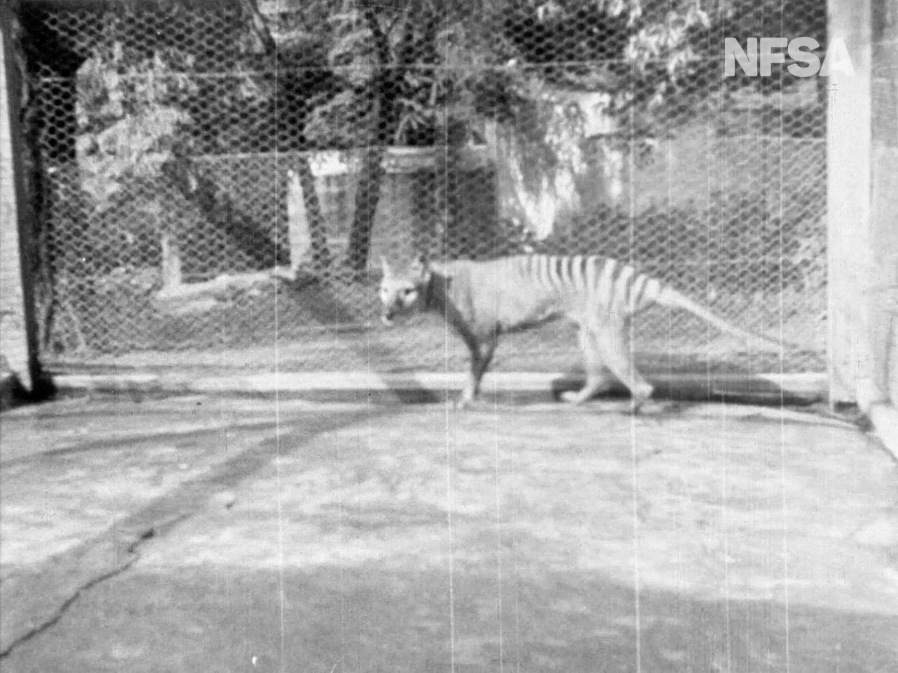 Benjamin, le dernier tigre de Tasmanie, s'est éteint le 7 septembre 1936 en captivité. © NFSA