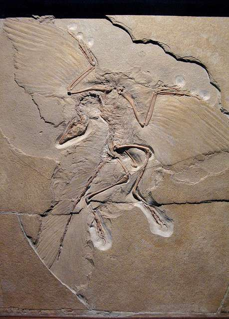 L'archéoptéryx, candidat un temps au titre de chaînon manquant entre les dinosaures et les oiseaux. © Paula Moya CC by-nc-nd 2.0