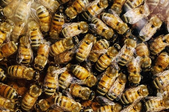 Les abeilles, malgré leur vie sociale extrêmement hiérarchisée, auraient une personnalité propre dont les bases moléculaires sont identiques à celles des vertébrés. Heureusement, les envies de liberté de quelques abeilles sont parfaitement compatibles avec le mode de fonctionnement des ruches. © L. Brian Stauffer