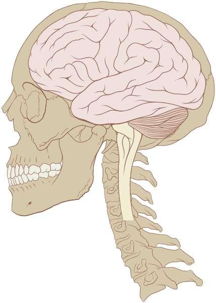 Le cerveau humain est approximativement deux fois plus volumineux que celui de son plus proche cousin, le chimpanzé. Mais le secret de la performance cérébrale réside aussi dans les connexions entre les neurones. Or le gène Srgap2c semble jouer à son avantage. © Patrick J. Lynch, Wikipédia, cc by 2.5