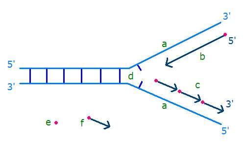 Schéma d'une fourche de réplication. Les nouveaux brins sont en bleu foncé, en rose figurent les amorces et les flèches du brin du bas représentent les fragments d'Okazaki. © Gluon, Wikimedia CC by-nc-sa 3.0