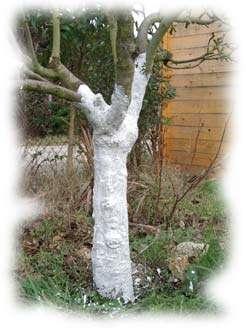 le chaulage donne un aspect blanc au tronc de l'arbre. Crédits DR.