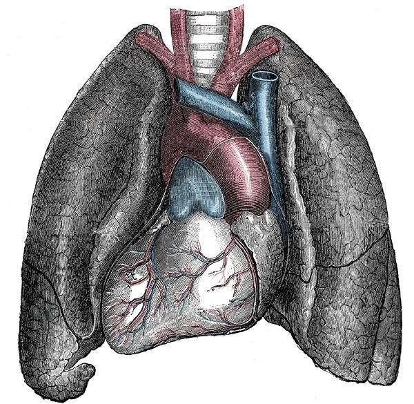 Une représentation d'un situs inversus : poumous, cœur et artères coronaires en positions inversées (planche de la Gray's anatomy, publiée en 1918). © Domaine public