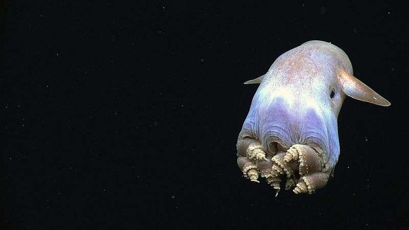 Une des espèces appartenant au sous-ordre de Grimpotheutis, des céphalopodes pélagiques des abysses. © Noaa, Okeanos Explorer