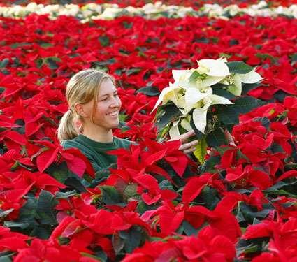 Le Poinsettia est la plante en pot la plus vendue dans le monde. Crédits DR.