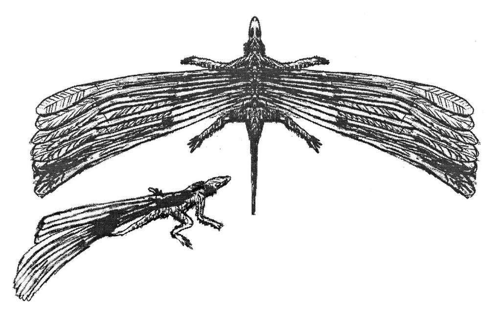 Le rôle des pseudo-plumes est inconnu, mais on sait qu'elles ne servaient pas au vol. Peut-être étaient-elles utilisées pour communiquer ou impressionner un adversaire ? © Oregon State University, Flickr, DR