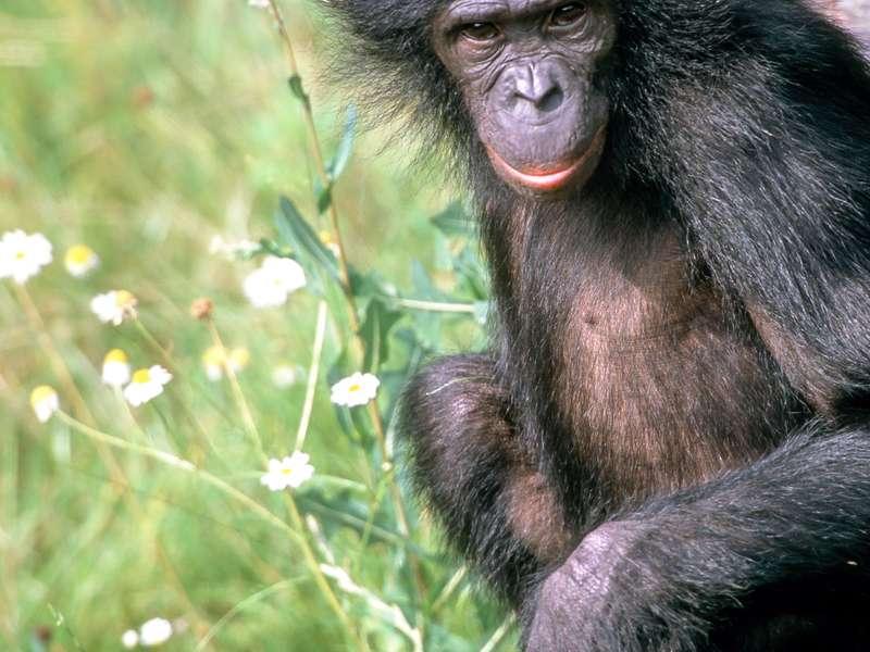 Les bonobos Pan paniscus, aussi appelés chimpanzés nains, ont une allure moins trapue que les chimpanzés et possèdent des lèvres rouges. Cette espèce est inscrite sur la liste rouge de l'UICN comme étant en danger. Le génome séquencé appartient à cette femelle nommée Ulindi. © Michael Seres