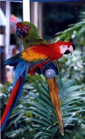 © Caroline LepageLes psittacofulvines des plumes de perroquets dans toute leur splendeur !